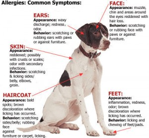 dog allergy causes symptoms