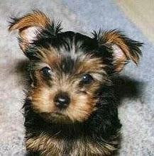 yorkshire terrier puppy breeder