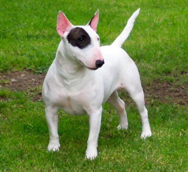 English Terrier Of The History Of English Bull Terriers Dog Obedience