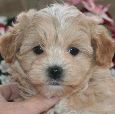 Small Dog Breed Hypoallergenic