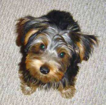 Yorkshire Terrier Puppies on Yorkshire Terrier Puppies   A Non Shedding Dog   Dog Obedience
