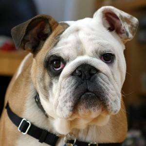 bulldog dog breed training