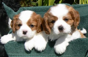 puppies brown white breed of the puppy