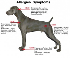 dog health symptoms allergy