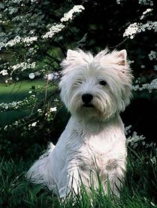 pedigree terrier puppy dog